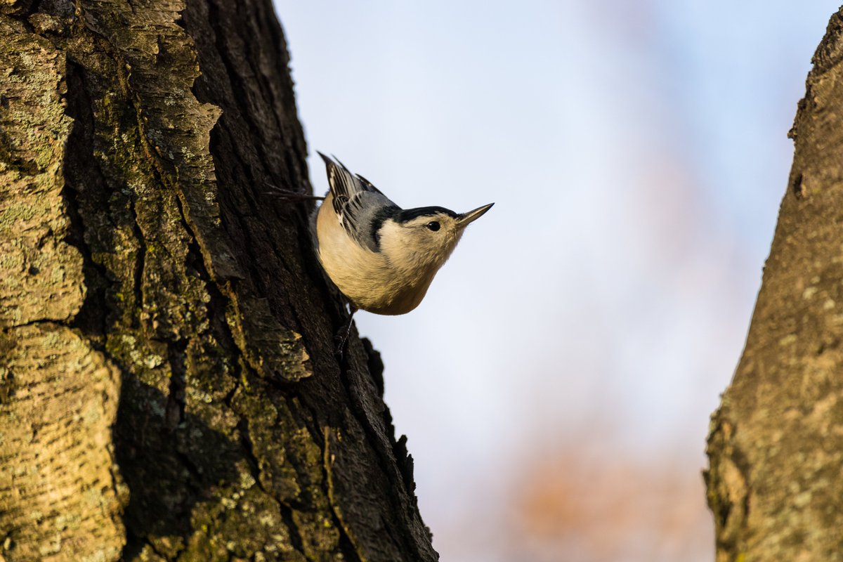 White-breasted nuthatch yesterday morning near Sparrow Rock.  #nuthatch #whitebreastednuthatch #birds #birding #birdphotography #wildlife #wildlifephotography #photography #photo #naturephoto #nature #centralpark #centralparknyc #r5 #sigmalens https://t.co/AaupAdk1rf