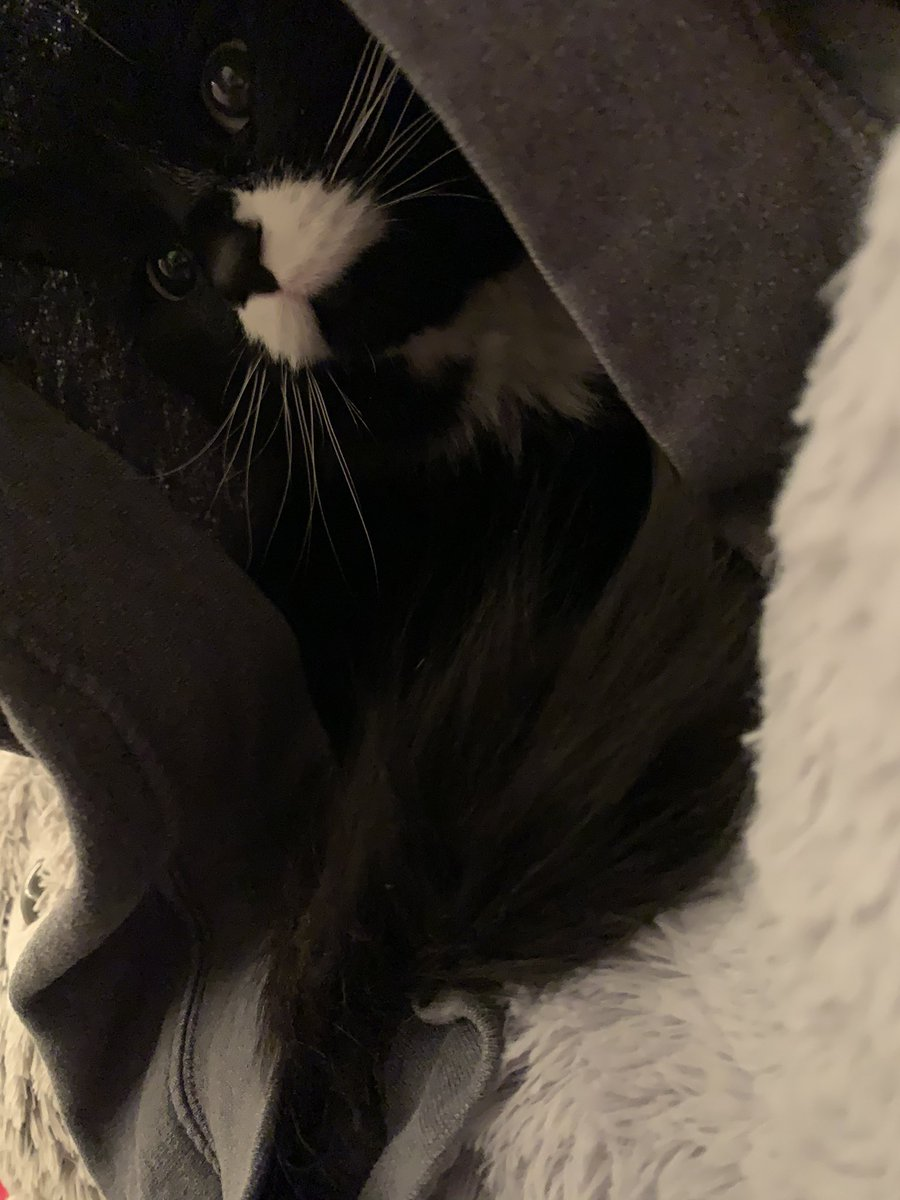 this is jax, he's 2, he refuses to drink room temperature water, and he loves to hide in my hoodies that i leave around my room even though he has a bed :) #catsforcorpse