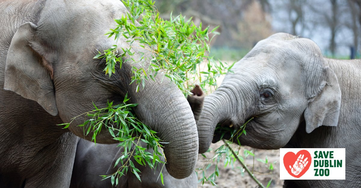 ❤️ Save Dublin Zoo ❤️  Did you know that it costs €75 euro to feed an Asian elephant for a day?  Any donation big or small makes a huge difference and goes directly into the care of the animals at Dublin Zoo.  See how you can support Dublin Zoo here: https://t.co/SWD4Ysbr6z https://t.co/cBRDaSXIJ5