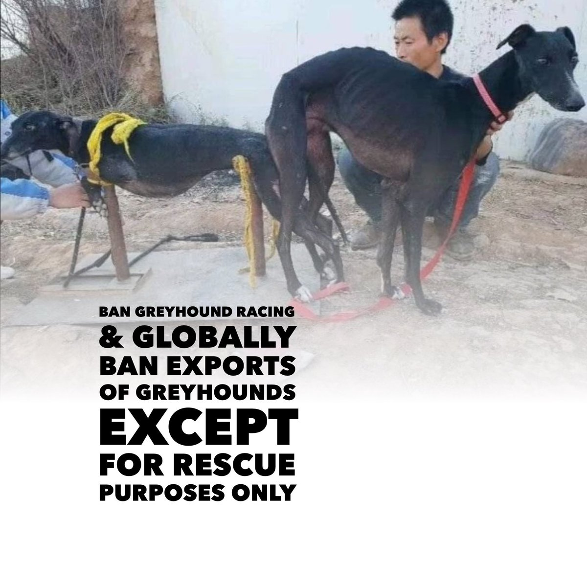 24 Online Protest https://t.co/hdyZRFqLNk  #BanGreyhoundRacing #Ireland #uk  #BAN #GREYHOUNDEXPORTS With the #EXCEPTION of #RESCUE #Purposes Only #StopExportationOfGreyhoundsToAsia  #StopGreyhoundExportsToPakistan @MetroUK @carriesymonds https://t.co/Ysl0A18hCr