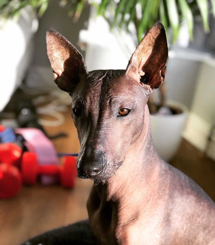 So here she is Reeva, now 6 months old.  Looking very majestic in this picture don't you agree? She's a Standard Mexican Hairless Dog ... Xoloitzcuintle ... Xolo, quite rare in the UK.  Thanks so much for 📸 Instagram xoloreeva                              #xolo #puppylove