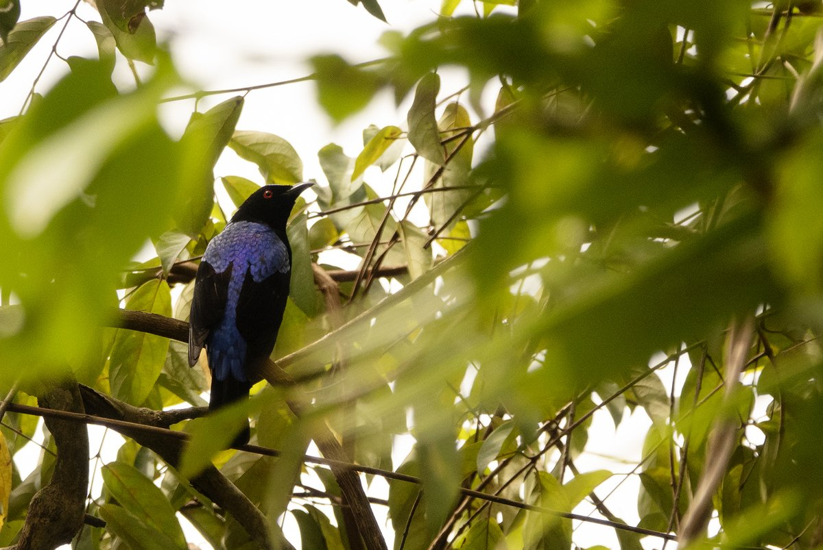 Growing up, i used to devour #SalimAli's bird book over and over. One bird in it was my fav: the fairy #bluebird (Irena puella).   2 days ago, in the #Westernghats, i saw about 10-20 bluebirds all whistling away, foraging. A lifer for me. Took me back to childhood :) #birds