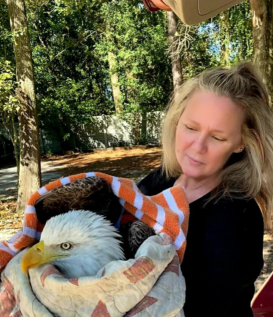 We rescued this injured bald eagle from a roadside on #ElectionDay2020 .   I'm pretty sure a MAGA bus hit it and is looking for it to finish it off. #Saveourplanet #Democracy #wildlife #MAGAmeltdown #protectwildlife