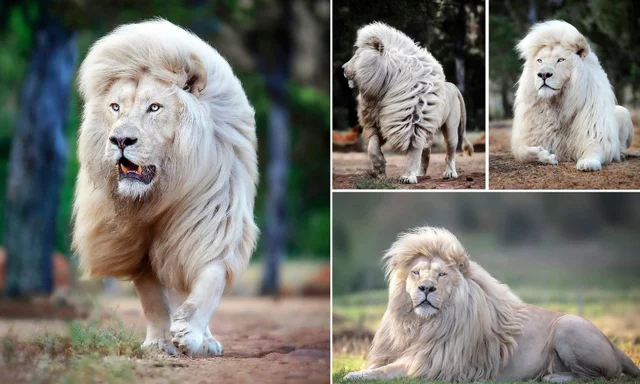 A six-year-old rare white lion with better hair than most of us #nature #naturelovers #naturephotography #natureperfection #photooftheday #photograpy #beautiful #world #naturelove #cute #sweet #innocence #animals #NatureDaily #WorldNature #NaturePic https://t.co/Rgg98jgEoy