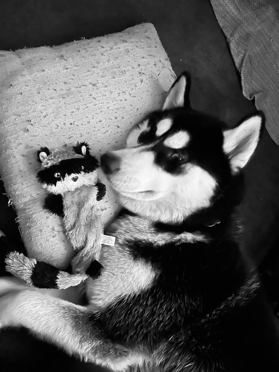 My little raccoon puppy sleeping with his favorite raccoon toy! ❤️🐶😂 #siberianhusky #puppylove