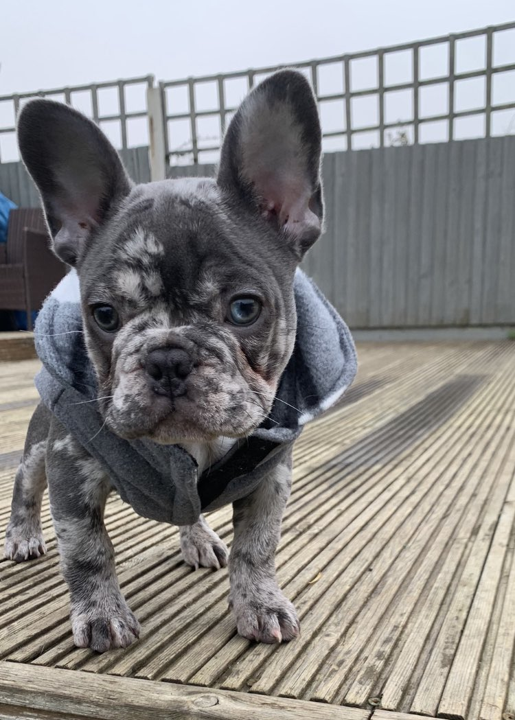 My lady human can't get over how beautiful I am .. she's head over heels in love with me 🤪😍💙🐾🦴🥰👌🏻 #FrenchieLove #PuppyLove #FrenchBulldog #frenchiesoftwitter #gorgeous #SaturdayVibes #Saturdays #outfitoftheday #toocute