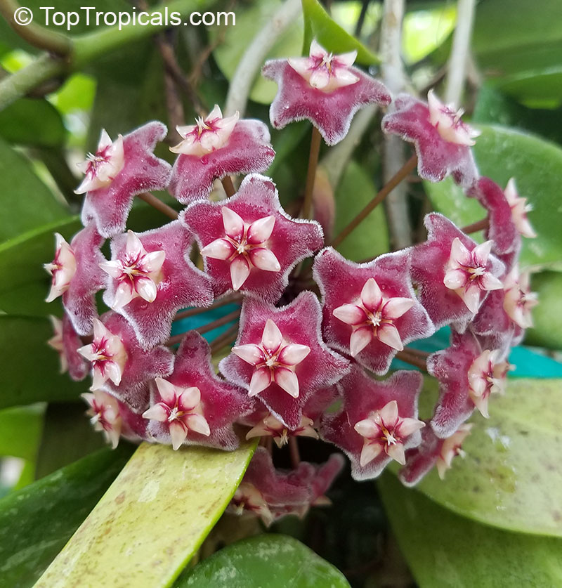 #Hoya pubicalyx - Harlequin Porcelain Vine is truly spectacular when it produces its glorious colored fragrant flowers. There is a large number of cultivars, each displaying a different flower color and variegated leaf.   #floweringvines #SaturdayMorning