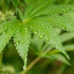 Image for the Tweet beginning: #cannabis #marijuana #weed Police find