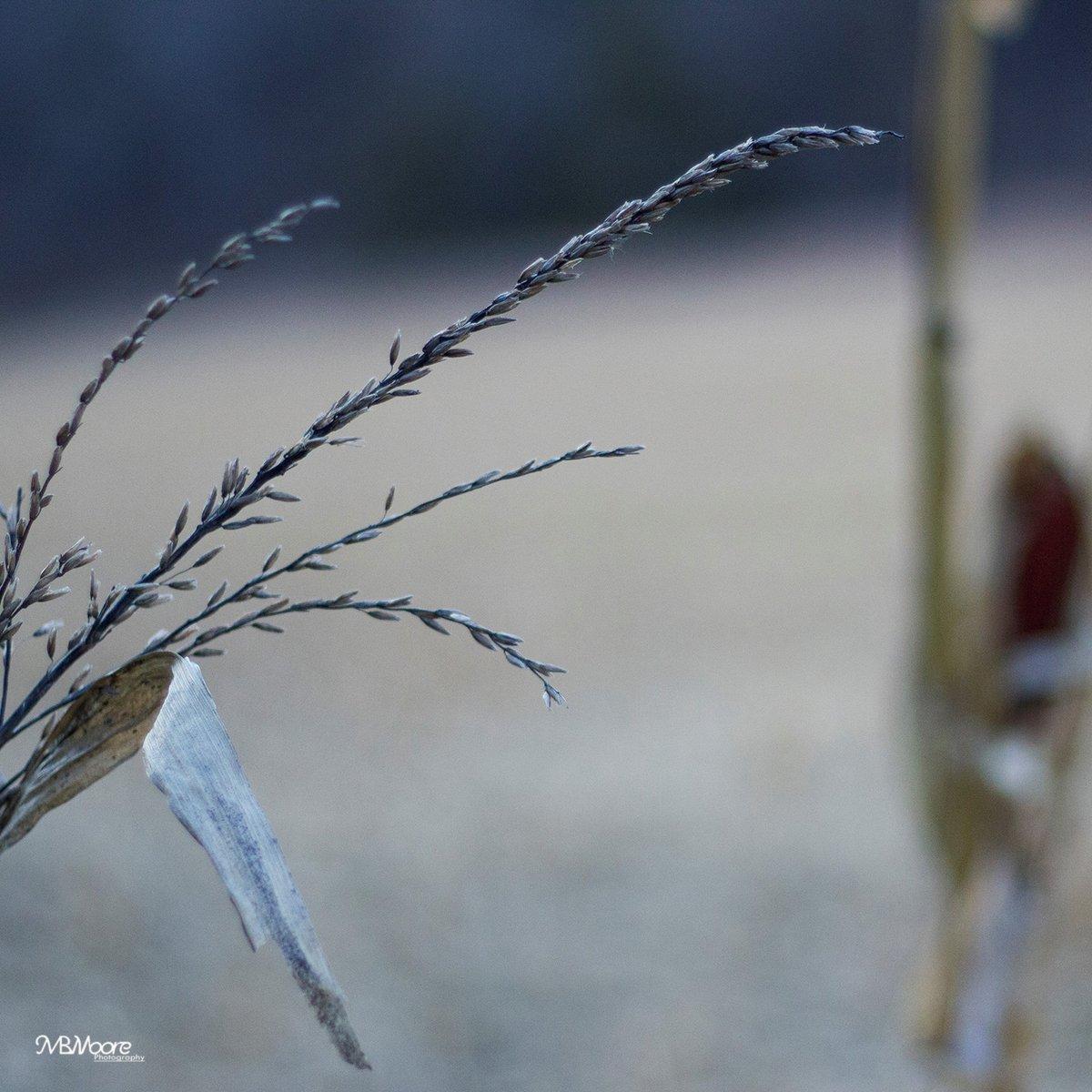 Grain: Wild and Domestic - Loess Hills, Iowa. November 18, 2020.   #Photography #Farm #Rustic #Iowa #Autumn #November #Mood #Outdoors #Rural #Americana  Patreon: https://t.co/B3sFUKhOiw https://t.co/iPnj2i3zPP