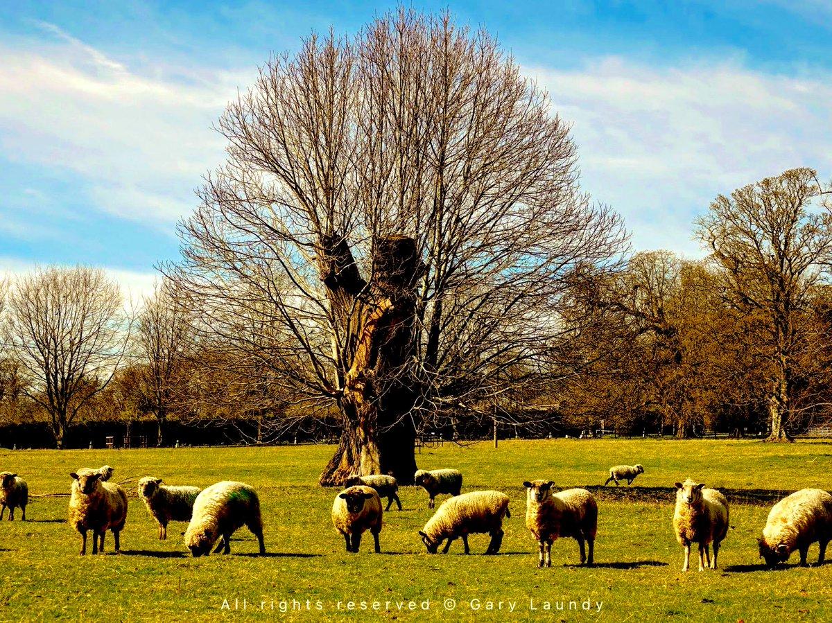 Autumn sunshine sheep.   #autumnvibes #autumn  #sheep #farmland #sun  #beautyful #trees #sky #amateurphotography https://t.co/oX95P7ie0z