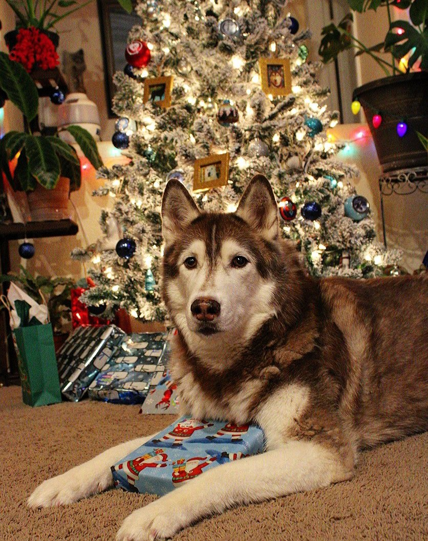 Have to get the dog photos in front of the tree every year. They are such good sports.   #holidaydog #dogsoftwitter #wolfdog #husky #siberianhusky #malamute #christmasdog https://t.co/dhNCZZLCc3