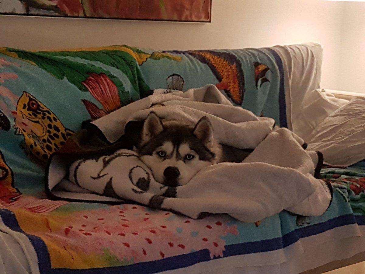 @sabrinakaleva Kannattaa pyrkiä tähän - oma sohva. Luna tervehtii tulokasta. #dogsoftwitter #siberianhusky #husky #Ilovemyhusky https://t.co/xeLAwVM5wE