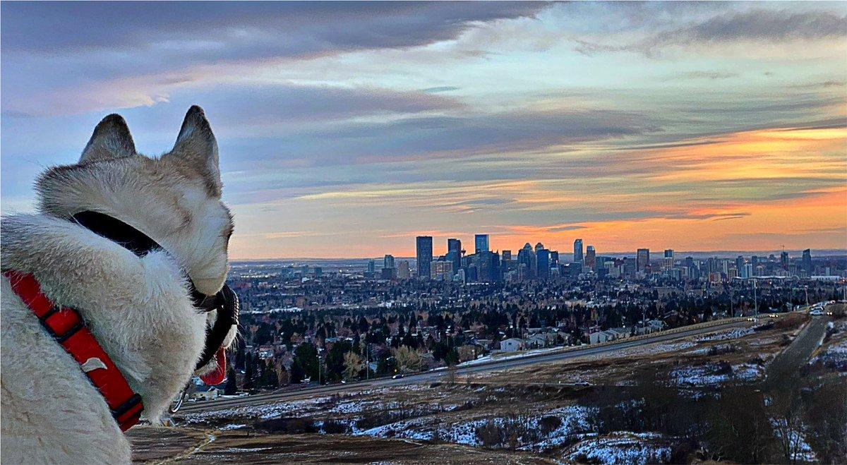 A dog's eye view of #yyc #sunset #cityscape #husky https://t.co/6vi8TYr7fP