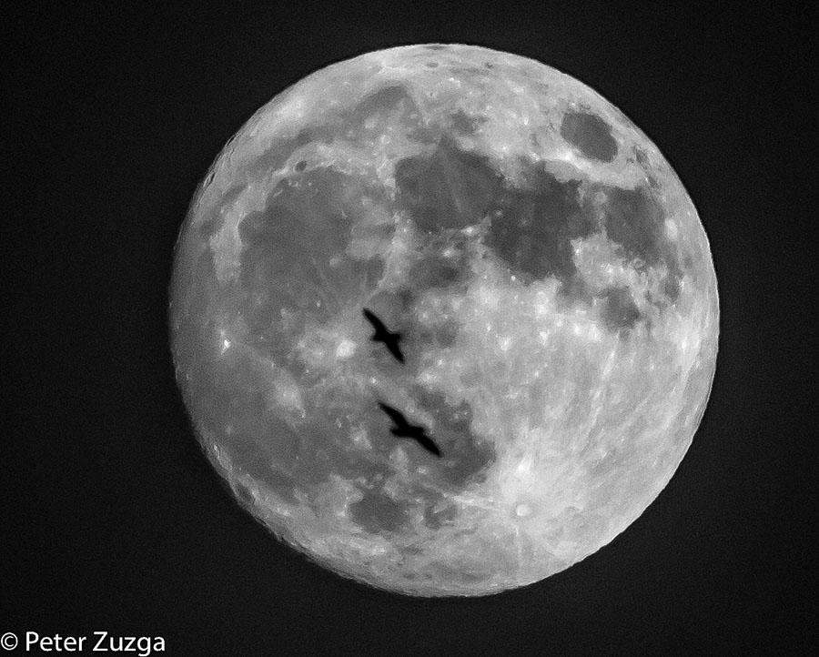 Gulls passing in front of the rising 97.76%-ish full Moon over Milwaukee, Wisconsin, today. #Moon #Milwaukee #Wisconsin #MoonRise #Nightsky #SeaGull #bird #nature #birds #blackandwhitephotography #blackandwhite #blackandwhitephoto