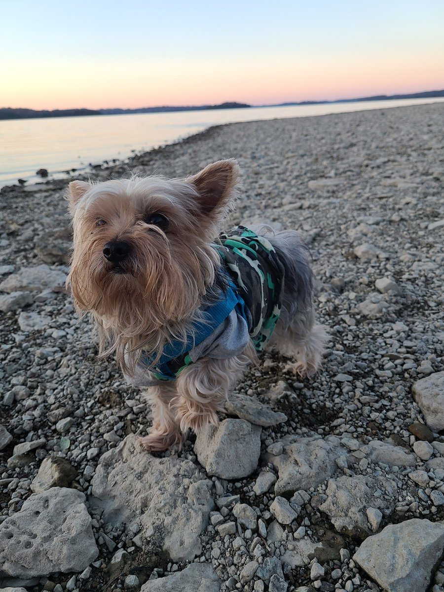 We love coming to the lake for the sunset! Total vibes #sunset #lake #dogsoftwitter #yorkie #tazz #tata #GoodBoy #like #trending #pawsitivevibes https://t.co/AsNui80aRX