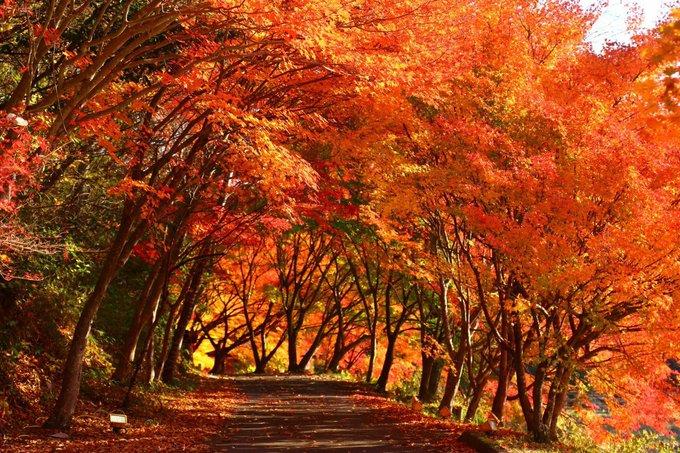 藤岡の紅葉はちょうど見頃を迎えています🍁 https://t.co/axAEXoSj3r