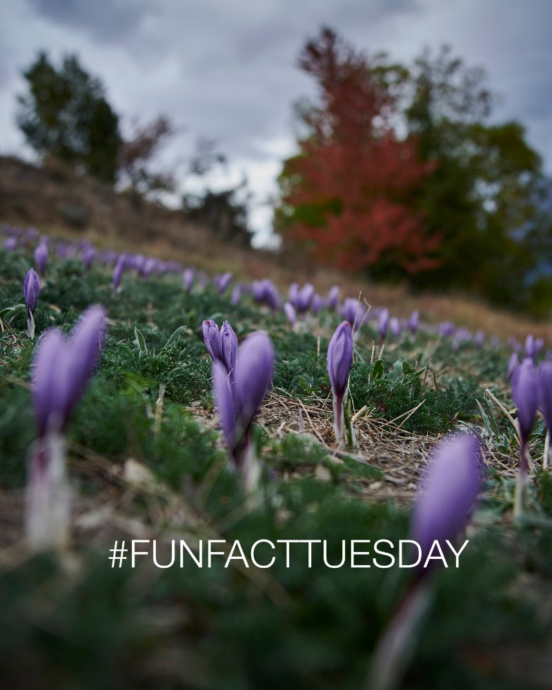 #FunFactTuesday: Did you know that saffron is usually harvested from the start of October to the beginning of November?  📷 @valaiswallis - Sedrik Nemeth