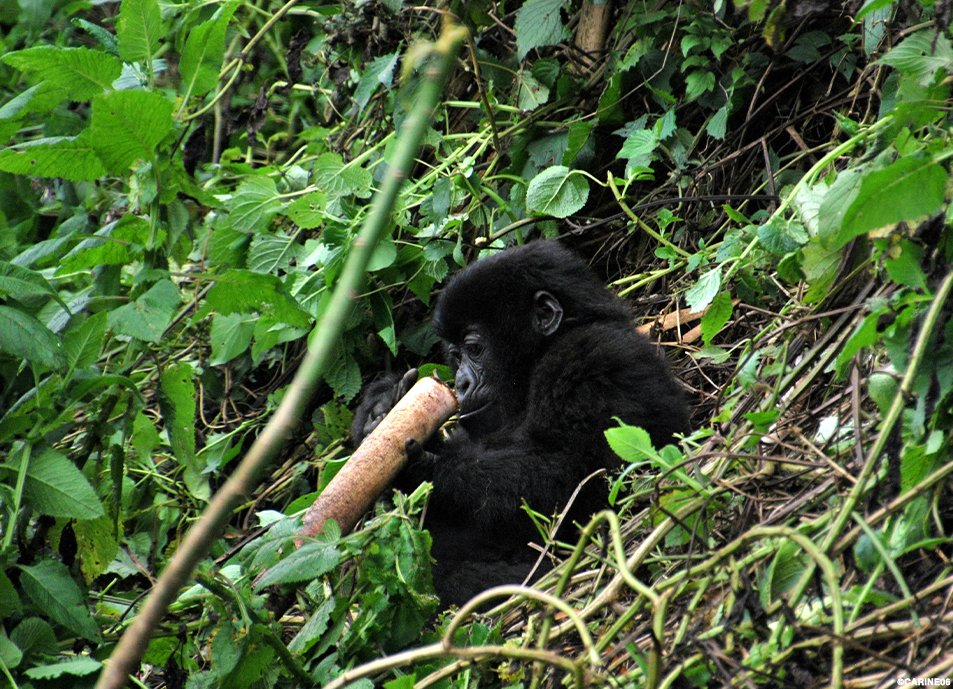 #DYK African alpine bamboo is the foliage of choice for Volcanoes National Park's 700+ mountain #gorillas? @AWF_Official is working to plant 22,000 young bamboo trees in the protected area. Learn more: