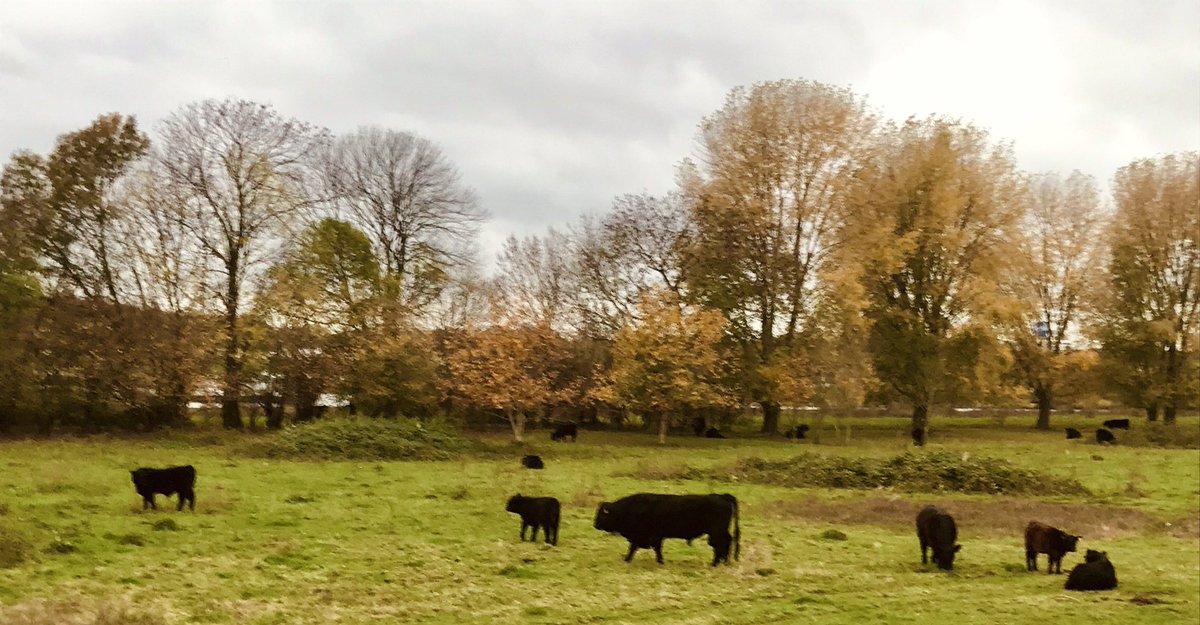 Pater familias en z'n prachtig drachtige koeien... #Galloways