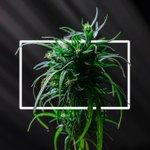 Image for the Tweet beginning: #cannabis #weed #marijuana Prince George's