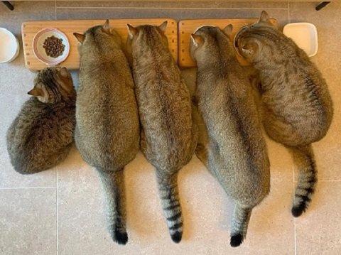 むちむちでそっくりな猫ファミリーがかわいい! 一同整列してのお食事風景に癒やされる