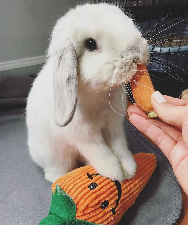 Small white rabbit eating a carrot, while standing with its front two paws on a toy plush carrot.