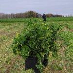 Image for the Tweet beginning: #récolte des 350 micro-parcelles sur