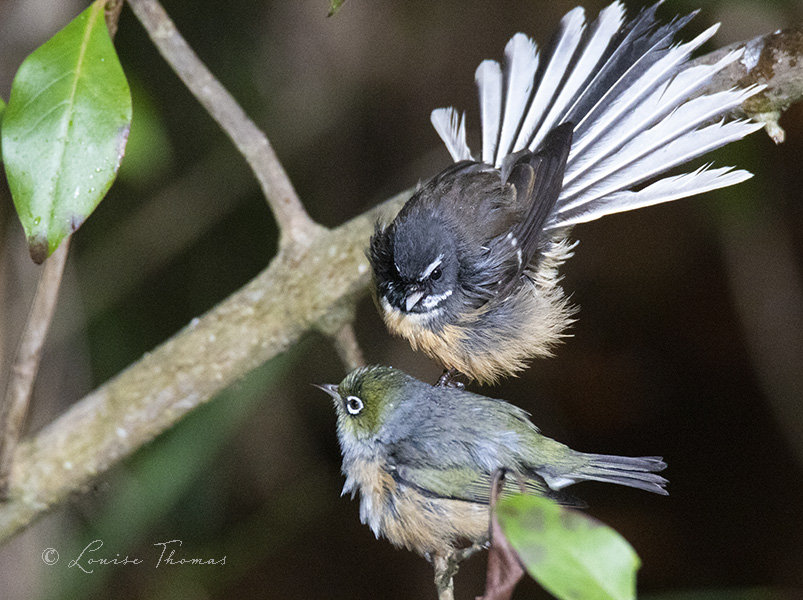 Fantail Twitter Search Fantail synonyms, fantail pronunciation, fantail translation, english dictionary definition of fantail. fantail twitter search