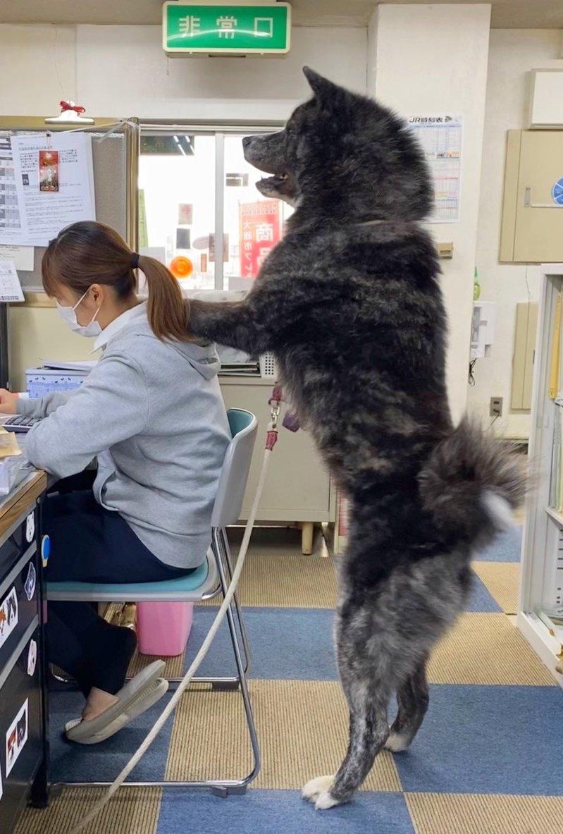 あきほ@秋田犬保存会 / 秋田犬会館さんの投稿画像
