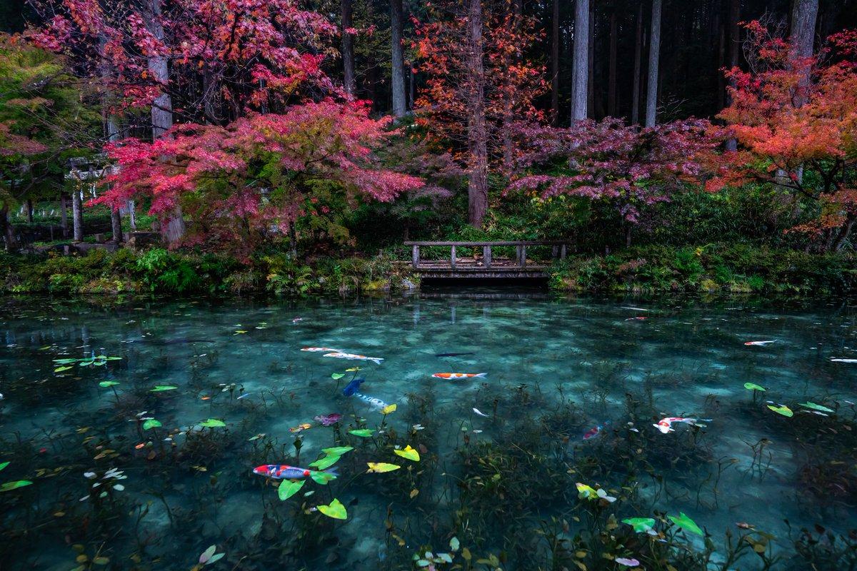 雨の日のモネの池。 しっとりとした色彩美と雨水が作り出す波紋を楽しんでください。