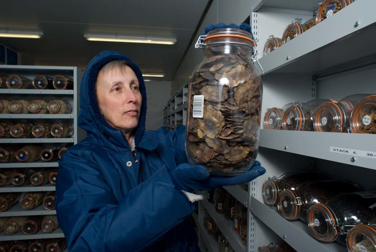 Lovely thread highlighting the important work of scientists dedicated to saving the world's seeds! Happy 20th to the Millennium Seed Bank! #MSBP20   #botany #genetics #seeds #biodiversity #crops