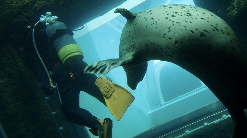 ひさびさに写真見返してたら潜水士の仕事で動物園のアザラシ水槽掃除懐かしい☺️奥の水槽はシロクマ🐻❄️さん。いなかったけど