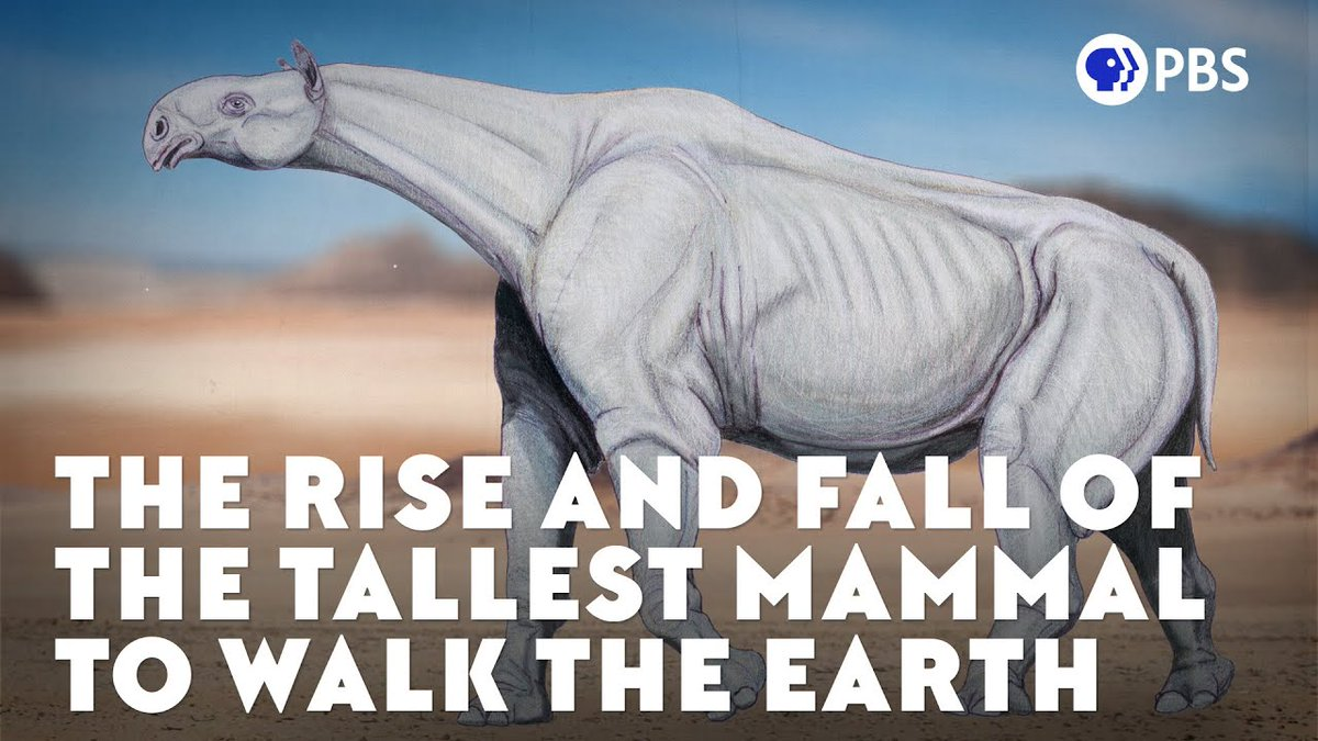 It arose from rhino ancestors that were a lot smaller, but Paraceratherium would take a different evolutionary path. Believe it or not, it became so big that it probably got close to what scientists think might be the actual upper limit for a land mammal. youtube.com/watch?v=SDk1Ft…