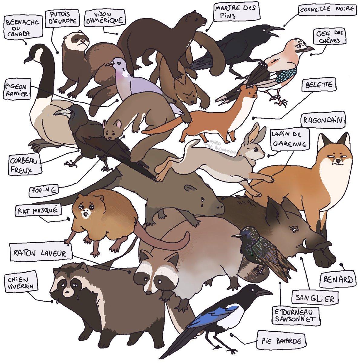 A la base, je voulais dessiner des animaux que j'aime bien, et puis j'ai réalisé que beaucoup d'entre eux étaient classifiés nuisibles, alors j'ai fait toute la liste française...
