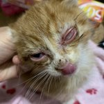 猫を保護してから1か月でつぶれた目がきれいに!治療の甲斐があった。