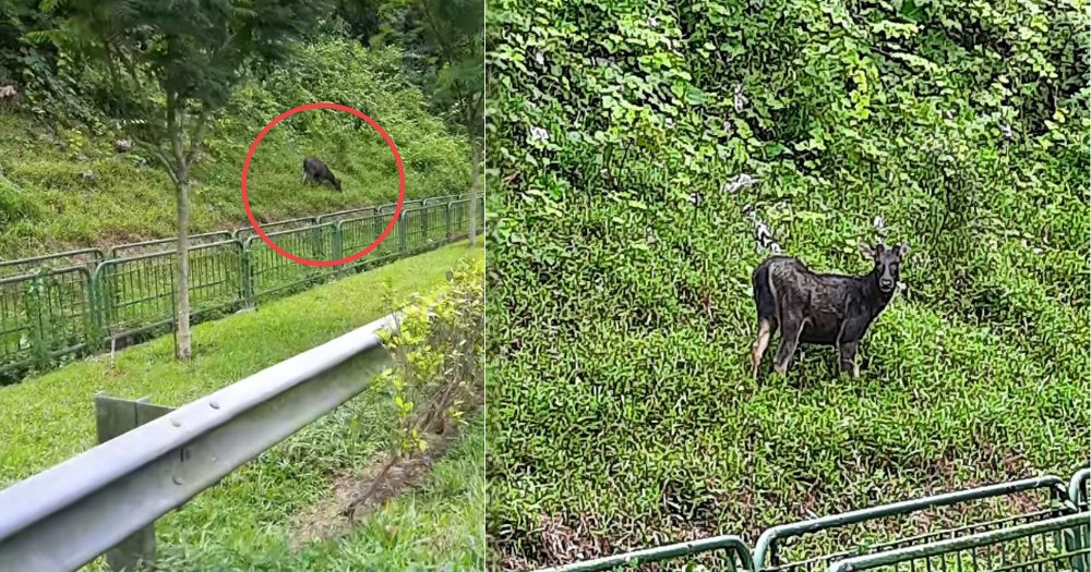 Elusive Sambar deer seen foraging along Bukit Timah Expressway in the middle of the day https://t.co/ffGYBvW18P https://t.co/0OnH8M0EYi