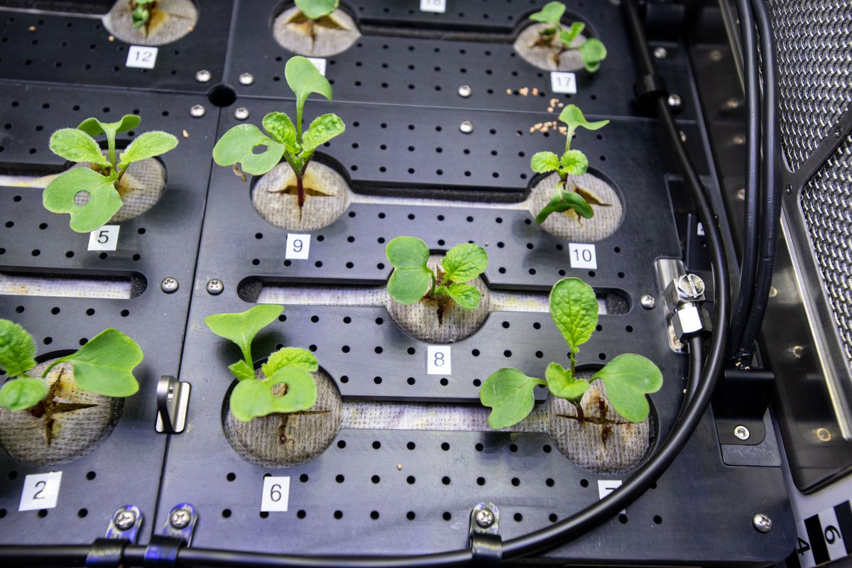 Those holes in these radish plant leaves on the @Space_station aren't caused by any type of insect. Astronauts have to keep tabs on which plants they have taken leaf samples of. The most convenient way to do that? Punching holes in the leaves! https://t.co/5jTsWaJDOA https://t.co/WBh3zHbIFh