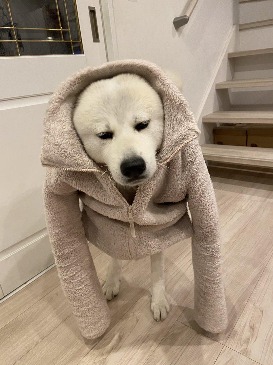 #秋田犬服を着せたら、謎の生物に‼️
