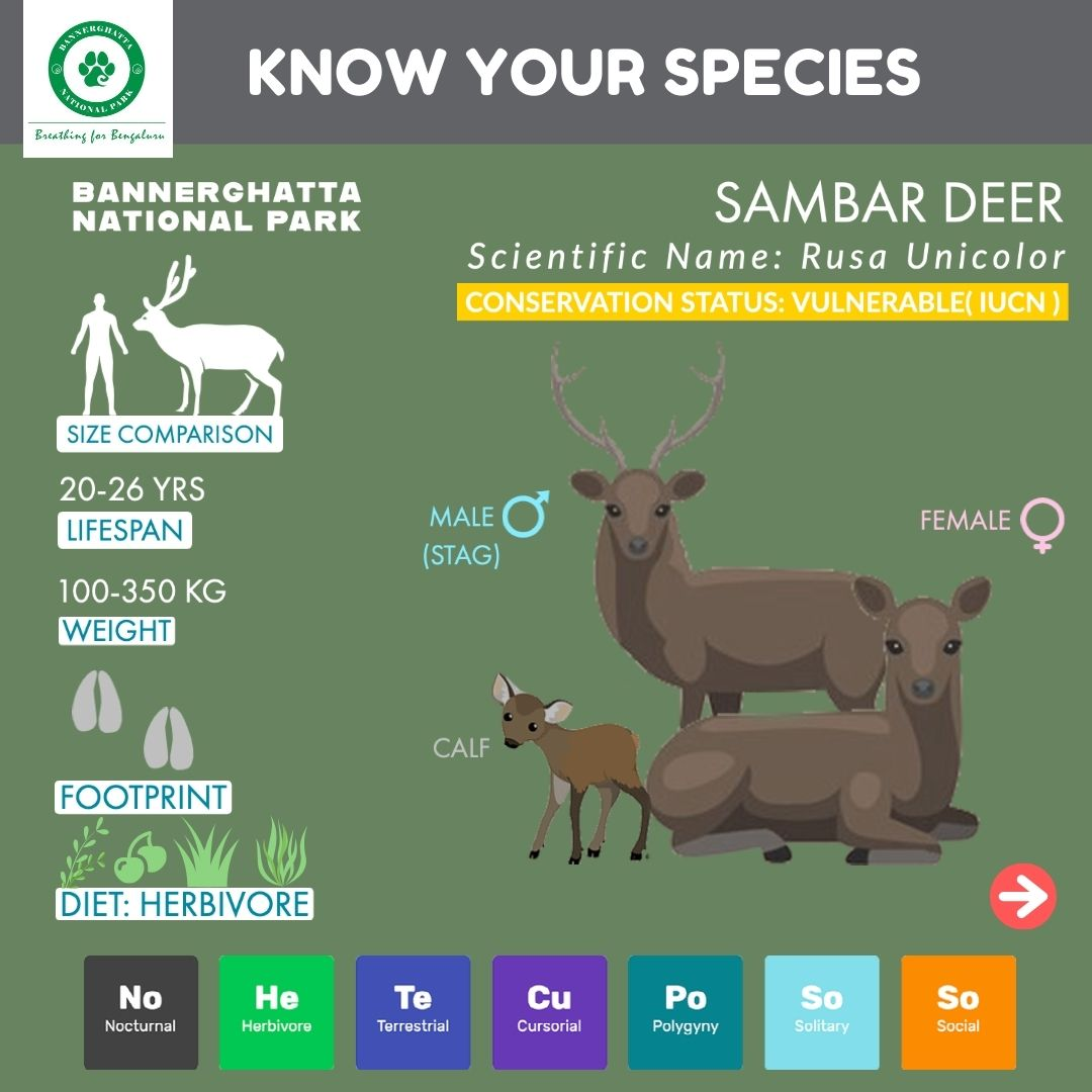Did u know about the SAMBAR deer?  Sambars are majestic deers displaying unique characteristics and they are widely spread inside the bushy forests of Bannerghatta National park  #deer #sambar #sambardeer #rusa #rusaunicolor #antlers #bannerghattanationalpark #bannerghatta https://t.co/8P61IQx0X5