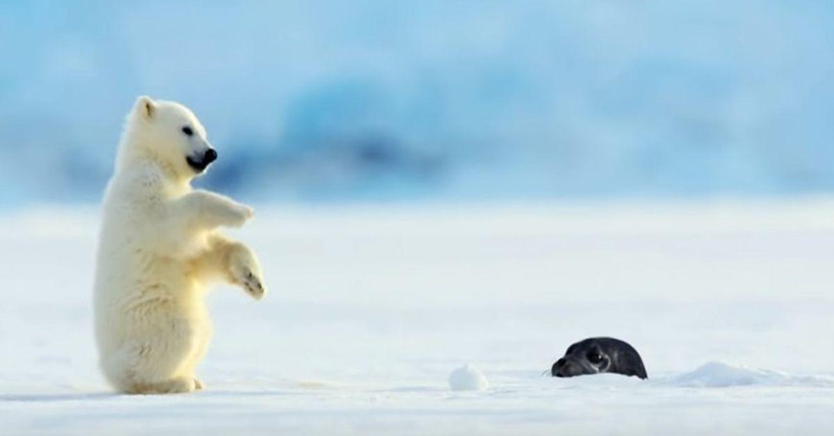 ホッキョクグマの赤ちゃん、突然顔を出したアザラシにびっくりして思わず尻もち。