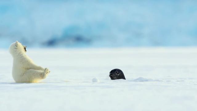 小北極熊被突然間出現的小海豹嚇了一大跳w Ena-3T1XIAs_k5Z