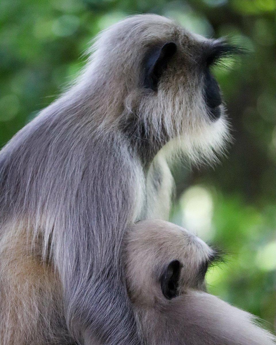 Mother's Love ❤️ #Girnar #monkeymajik #thisweekoninstagram #yourshotphotographer #natgeo #wildlife #indianphotography