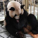 パンダの赤ちゃんが産まれました!可愛い