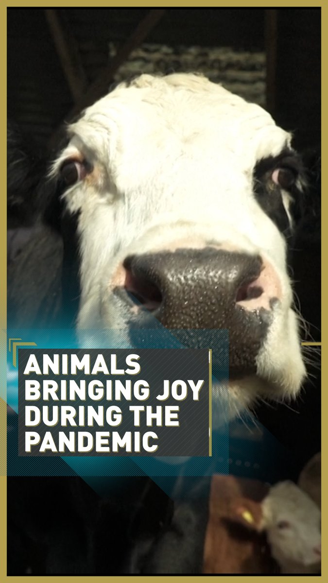 Lockdowns will lead to serious mental health problems for children in the future, says children's doctor #MartaCohen. 🧠  How are animals bringing joy during the pandemic? @FutureRootsNet 🐮  Read more 👉