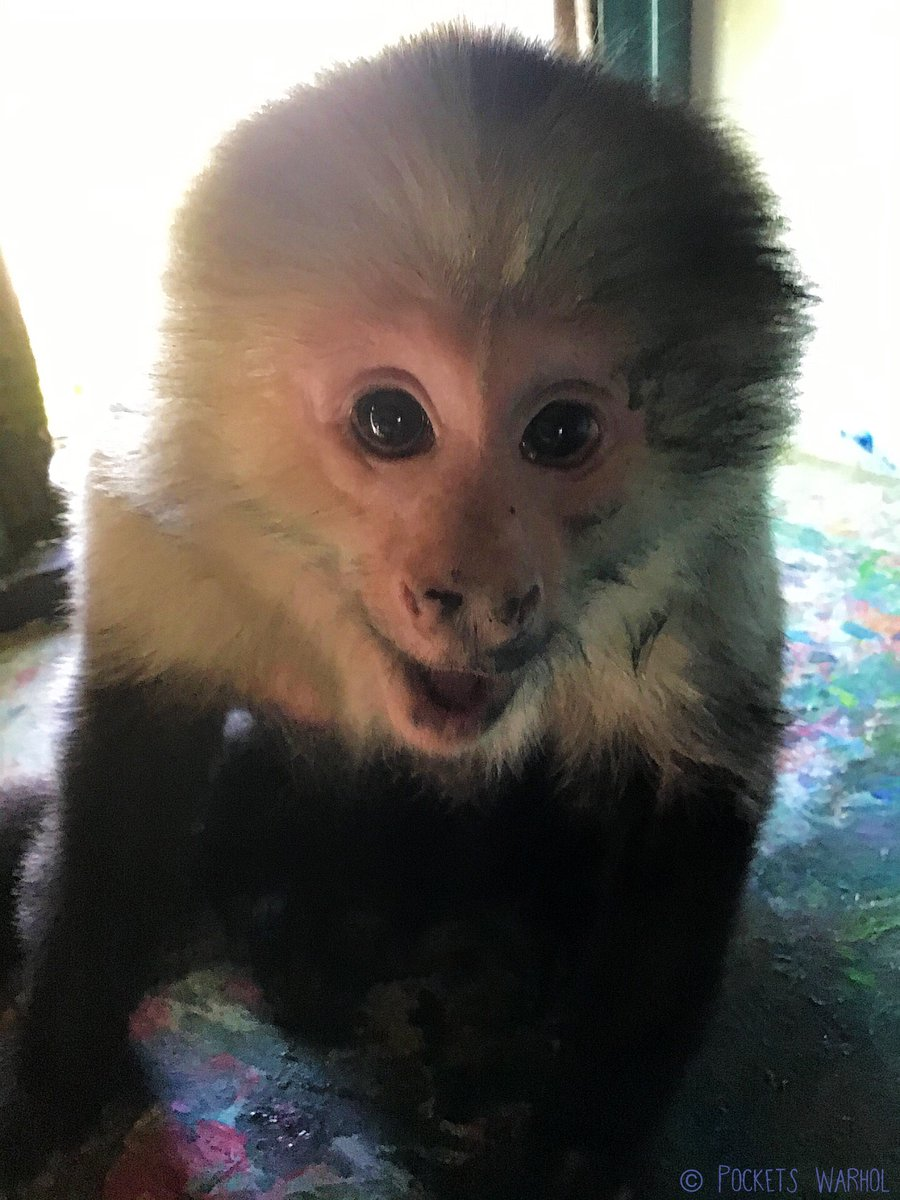 @rickygervais From one funny monkey to another....thank you from the bottom of my tiny monkey heart for all you do to help animals, Love Pockets Warhol #thankyouSirRicky