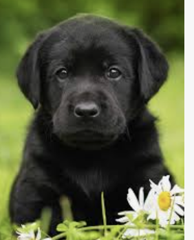 Here is a photo of a black lab puppy for inspiration!