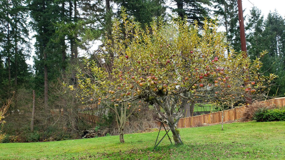 I'm out showing a home in Arlington this morning.  This feels like the fall. There are full apple trees at just every house my clients and I see.  Have a great day! #buyingahome #realestate #appletree #westernwashington #dreamhome #acreage https://t.co/mup7oYJNCQ