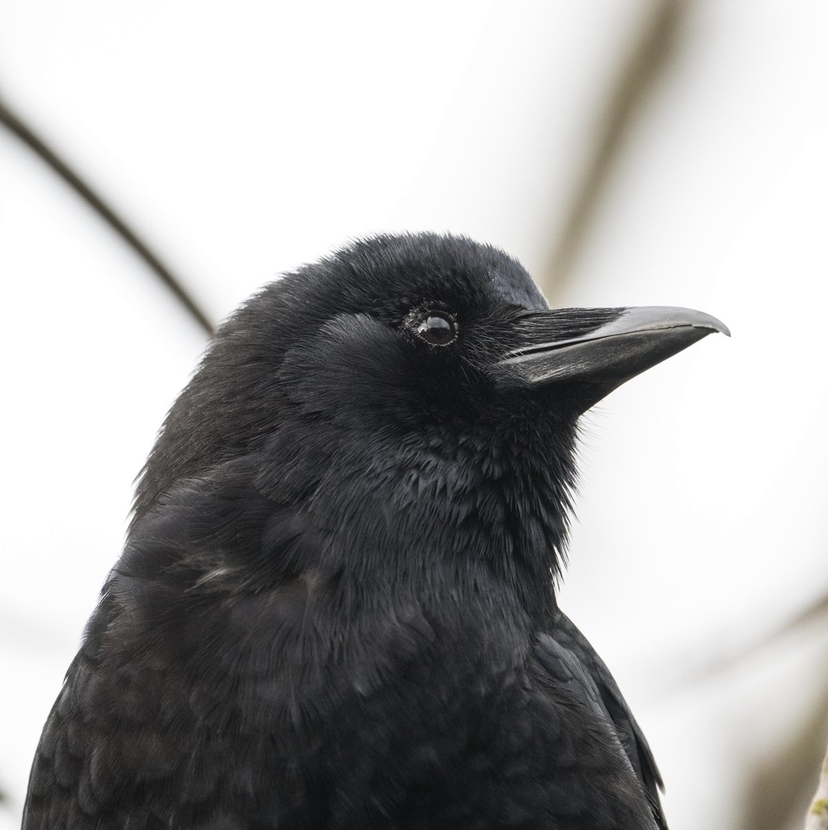 I highly recommend befriending a #crow! They are such beautiful intelligent birds.🖤