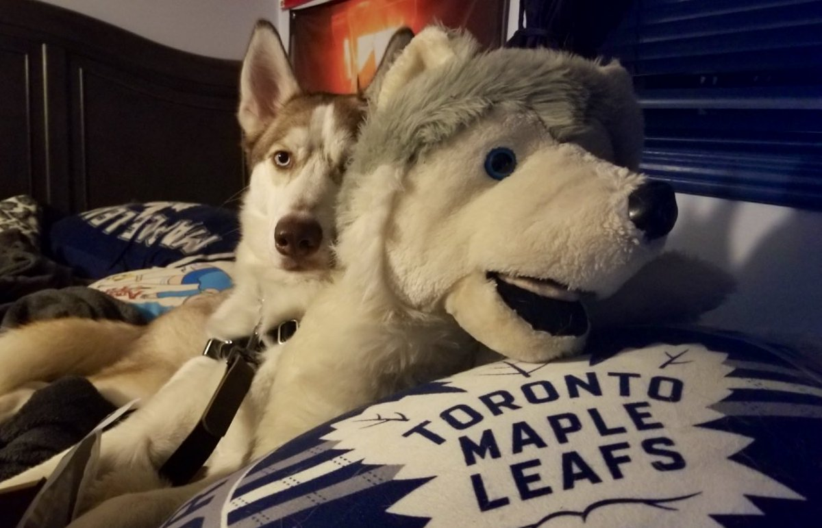 Surround yourself with your favourite things. 🐶💙 #dogs #pets  #Husky #animals @MapleLeafs #LeafsForever