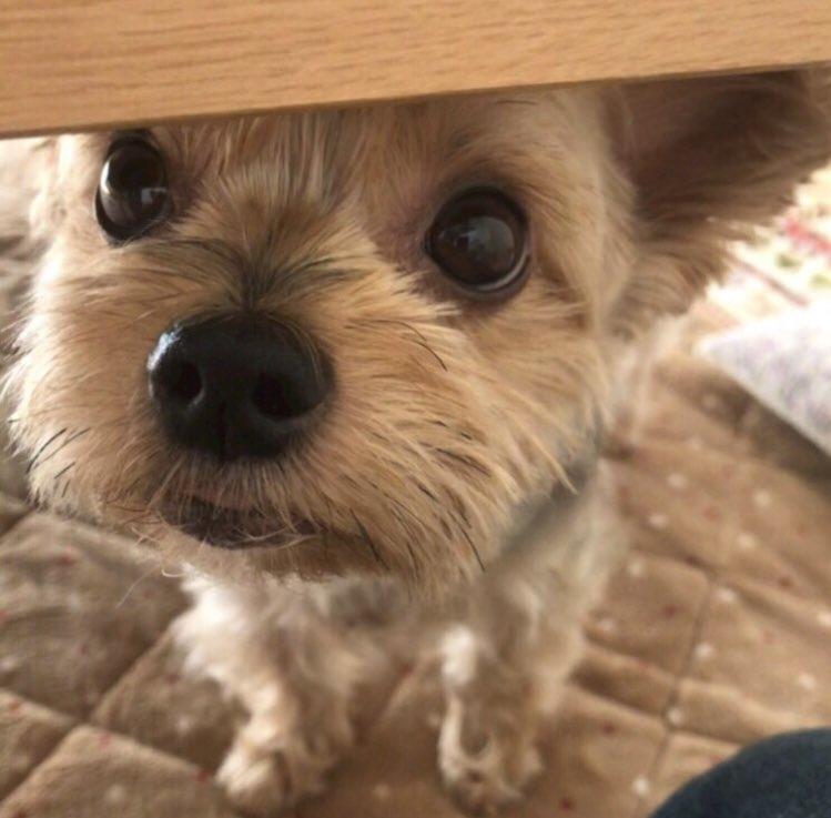 バロン♫バロン♫バロン♫お犬の子まんまるお目目の男の子『崖の上のポニョ』ならぬ…『机の下のバロン🐶』でした‼️アメブロを投稿した✨ワン!🐶🐾『机の下のバロン⁉︎』#犬好きさんとつながりたい#ヨークシャーテリア🔻アメブロはこちら🐶💕
